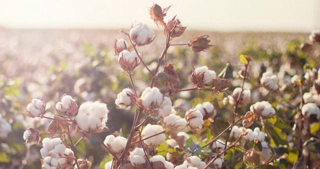 cotton-usa-baumwolle-baumwollpflanze-puppenzirkus