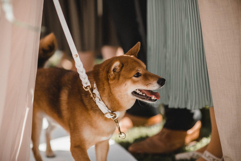 Der Dog of Honor: Shiba Inu Taro als Ringbringer bei der freien Trauung am Wannsee in Berlin bei der Hochzeit